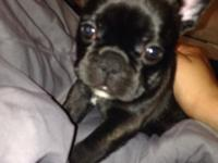 Meet Misty, She is a gorgeous french bulldog with an