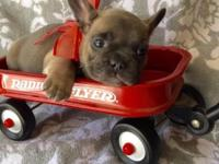 Blue Fawn Female French Bulldog, she is seven weeks old