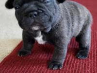 AKC female French Bulldog. 3 weeks old. Blue Carrier.