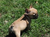 Gorgeous AKC registered female French Bulldog puppy.