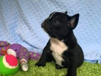 I have a female 8 week old French Bulldog puppy for