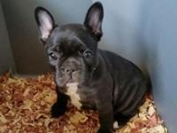 AKC puppy available; One female: Blk w/Cream Brindle,