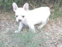 AKC Female French Bulldog puppy. Up to date on