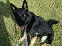 AKC full East German (DDR) bi color female 2 Years old.