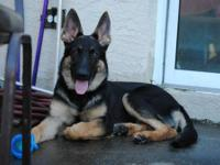 Very large black n tan German shepherd. Very nice girl,