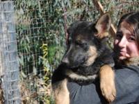 Female German Shepherd Puppies born on November 4,