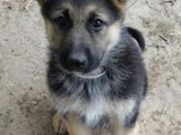 Female AKC German Shepherd puppies ready to go. As much