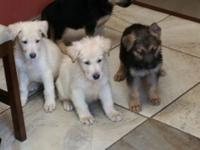 Our AKC Female Shepherd puppies are 8 weeks old and