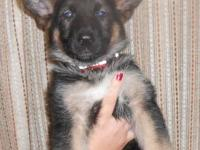 AKC German Shepherd puppy looking for her forever