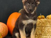 Meet Roxie! She is a beautiful purebred, AKC signed up,