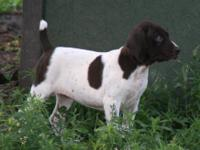 One left from our beautiful litter of Liver & White and