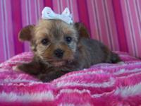 I have a adorable Gold female that carries Parti, AKC