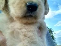 AKC Golden Retriever Puppies born August 23, 2015 are