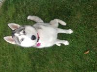 AKC Registered Beautiful, friendly, husky named Cahlie.