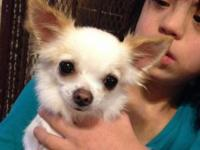 Josie is a 11/2 year old female long coat Chihuahua!