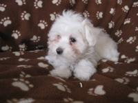 Here is a 1 1/2 y/o female AKC registered Maltese up