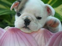 "AKC English Bulldog. ""Michaela"" was born May 14th,2012."