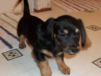 I have one 1 black/tan female long coat. She will be 8