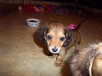 BEAUTIFUL MINI DACHSHUND PUPS. FIRST SHOTS, WORMING,