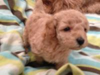 Hello, we have two beautiful AKC Miniature Poodle
