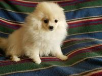 Beautiful small female Pomeranian. She is going to be