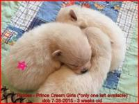 1 Female Pomeranian Puppy is available in this most