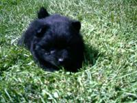 ADORABLE CUDDLY LOVEY BLACK FEMALE POMERANIAN.. AKC