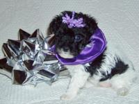 Toy Parti Poodle. Black & & white. DOB 10/30/2014 Ready