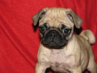 Adorable AKC registered fawn female pug. She is the