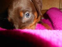 6 week old Female Red Doberman AKC First Shots, wormed,