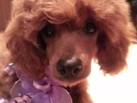Beautiful AKC Female Toy Poodle Puppy, Born 11-21-12
