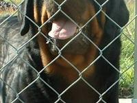 I have 1 female Rottweiler pup ready to go home.She was