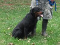 AKC Rottweiler female 7 years of ages. Likes kids and