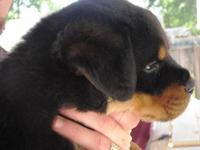 AKC Registered Female Rottweiler Puppy, born 1/31/2015,