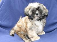 I have a litter of three Shih Tzu puppies two females