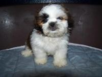 I have AKC female Shih Tzu puppies available. Feel free