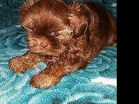 AKC Female Shih-Tzu Puppy Dad is a blue red party 10
