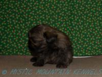 At Mystic Mountain Kennels we breed ShihTzu puppies for