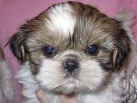 Gorgeous AKC Shih Tzu female pup from Champion