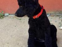 AKC black female Standard Poodle. 1 year old. House