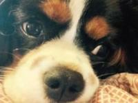 4 month old Cavalier King Charles Spaniel. She is