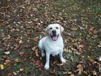 3 year old yellow laboratory trying to find a new home,