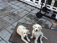 Beautiful yellow lab puppies. Friendly and playful.