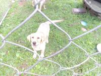 I have 2 female yellow lab puppies left out of my 2