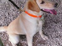 We have a smart, athletic female AKC registered Lab