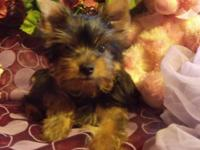 Cute little AKC Yorkshire Terrier, 14 wks of age.