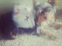 AKC Female yorkie for adoption. She is my pet and 1