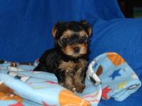 I have 3 adorable female Yorkshire Terrier puppies for