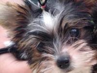 AKC female yorkie puppy 4 months old only weighs 2.4