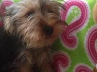 Akc female yorkie puppy comes with akc registration